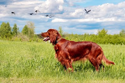 Perro de caza Setter Irlands (Caninos en las Praderas)