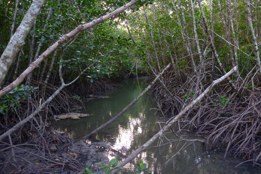 Rhizophora creek