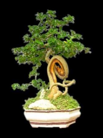 bonsai fosil