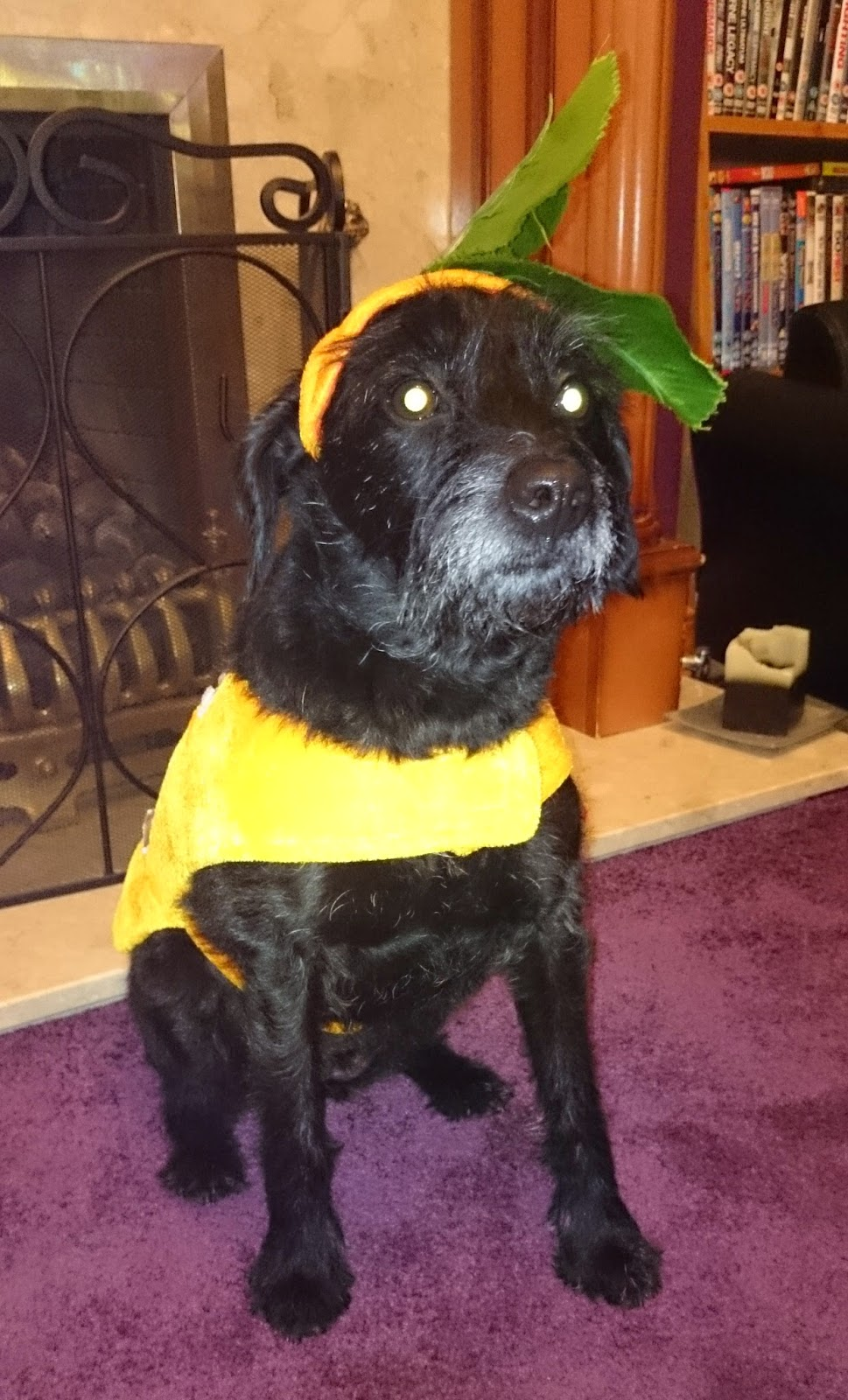 halloween pumpkin dog costume outfit orange green leaf hat border terrier cross poodle dog puppy pooch