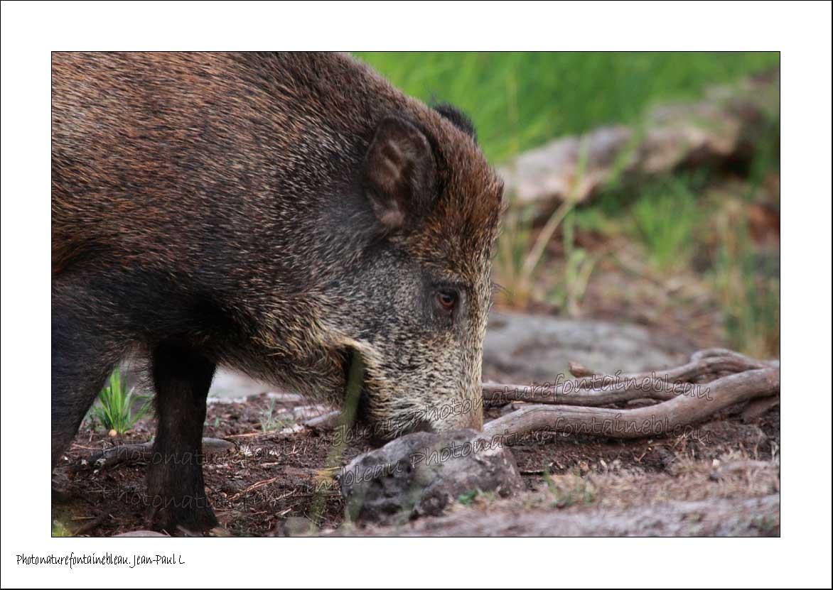 Un regard diff rent sur la nature toujours le nez au sol - Cuisiner du sanglier au four ...