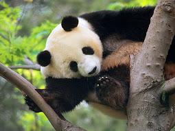 Panda webcam Live!