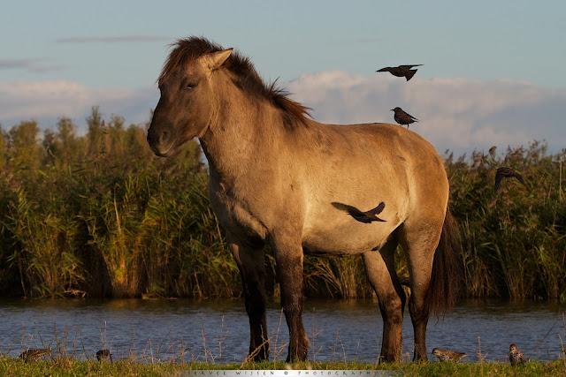 Konik [Equus caballus caballus] en Spreeuw