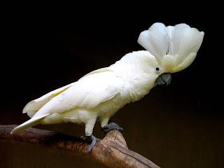 Habitat Dan Kebiasaan, Kakaktua nenghuni hutan primer dan sekunder yang tinggi dan tepi hutan, burung ini juga menghuni hutan monsun (Nusa Tenggara), hutan yang tinggi bersemak, semak yang pohonnya jarang dan lahan bududaya yang pohonnya jarang. Dari permukana laut sampai ketinggian 900m (Sulawesi), !520 m (Lombok), 100m (Sumbawa), 700 m(Flores),950+m(Sumba dan 500+m (Timor). sedangkan untuk jenis Kakaktua Maluku (Salmon-crested Cockatoo) biasanya hidup sendiri, berpasangan dan kelompok kecil, dahulu di pohon meraka tidur berkelompok hingga 16 ekor. Umumnya tidak mencolok, kecualai pada saat terbang ke dan dari lokasi pohon satu ke yang lain, mereka tidur ketika petang dan menjelang fajar. Walaupun terlihat terbang si atas kanopi tapi kebanyakan terbang di bawah batas kanopi. Mencari makan dengan tenang di kanopi dan lapisan tengah kanopi dan memiliki sebaran lokasi di daerah Seram, Ambon, Haraku dan Saparua. Kakatua menghuni hutan primer dan sekunder yang tinggi, hutan yang rusak dan hidup diatas permukaan laut sampai ketinggian 1000m.  JENIS - JENIS KAKATUA & WILAYAH PENYEBARANNYA  Burung Kakatua merupakan salah satu jenis burung yang banyak di gemari oleh pencinta burung paruh bengkok di seluruh dunia,perilakunya yang khas,lucu,riang dan mahir menirukan suara manusia menjadikan burung ini menjadi salah satu primadona klangenan,akan tetapi karena perburuan liar yang terus menerus di habitatnya maka burung ini terancam punah keberadaannya,terutama di wilayah Indonesia yang notabene merupakan penyumbang jenis kakatua terbanyak di dunia. Untuk melindungi keberadaan satwa langka ini,maka pemerintah membuat peraturannya yang tertulis dalam Undang-Undang RI No.5 Tahun 1990 tentang Konseravasi Sumber Daya Alam Hayati dan Ekosistemnya,yang pengaturannya lebih spesifik lagi pada pasal 21 ayat 2 dengan ketentuan pidana yang telah diatur juga pada pasal 40 ayat 2 dan 4.   Berikut ini merupakan jenis-jenis kakatua di dunia dan wilayah penyebarannya : 1. Kakatua putih kecil ja