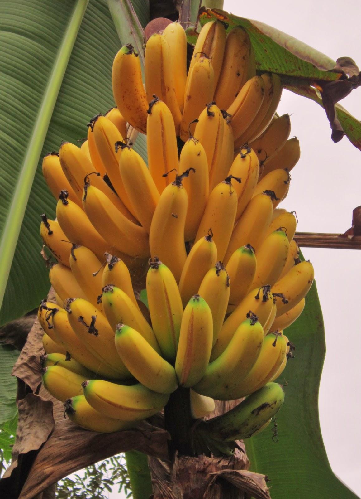 Jane 隨心所欲: 砍香蕉树记