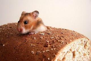 Gambar Tikus Hamster Lucu pict
