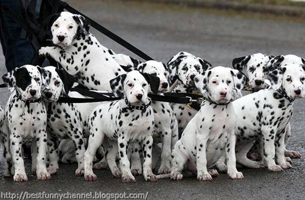 Dalmatians puppies.