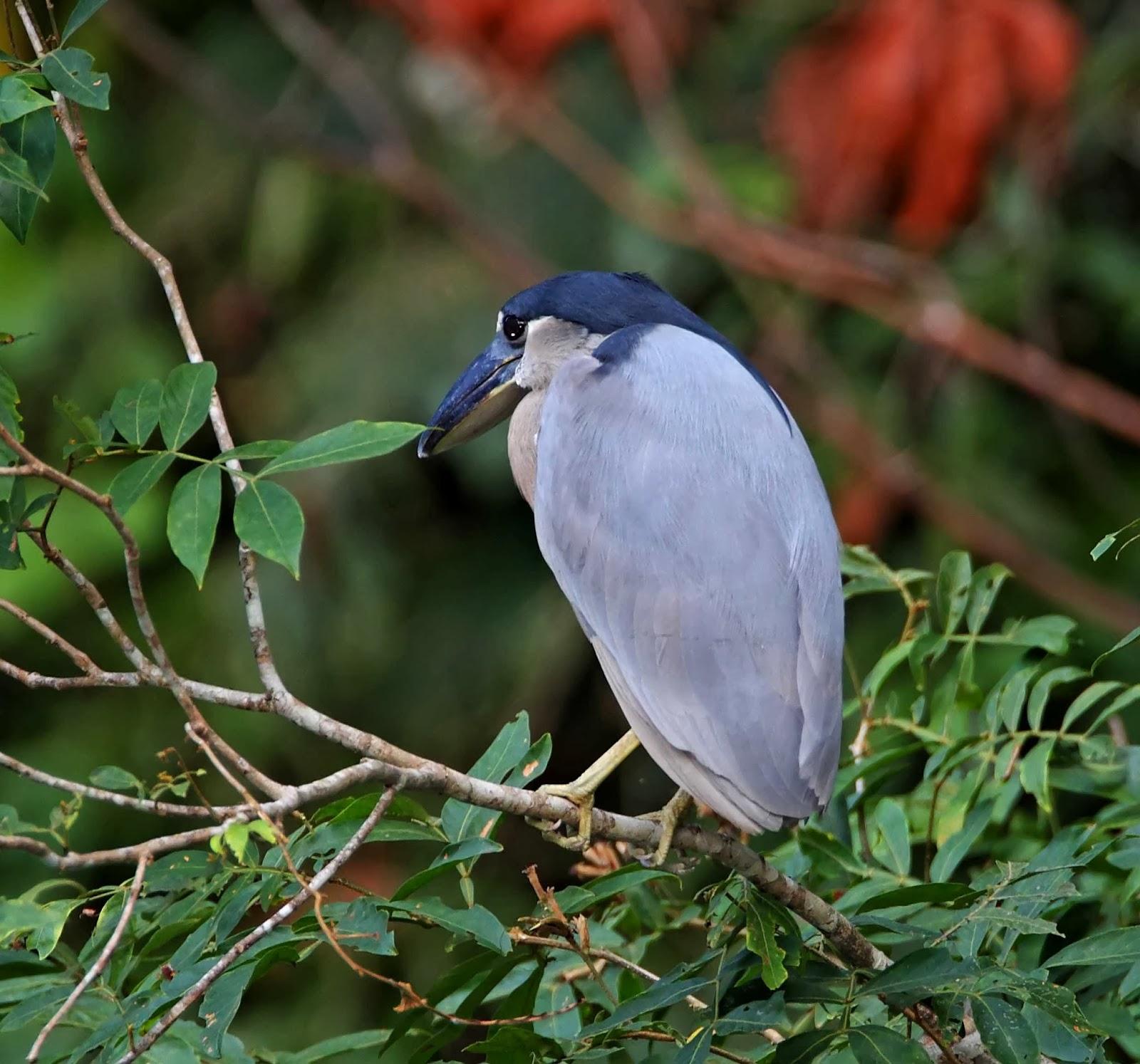 Broad Billed Heron Boat-billed Heron Adult