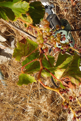 The grapes the Deer Left Us , Templeton, CA, July 25, 2015, © B. Radisavljevic