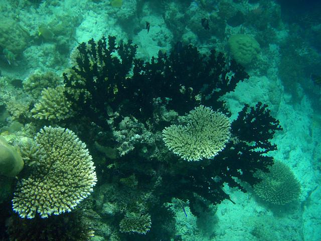 黑珊瑚与巨型海扇及海绵