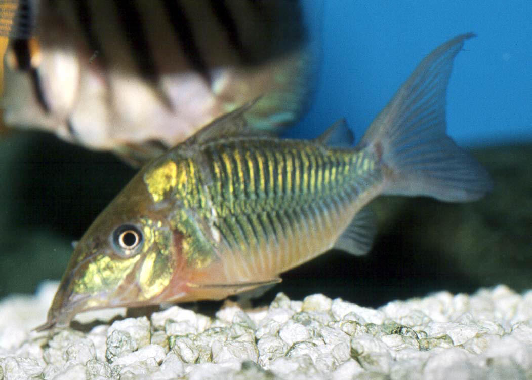Fish pictures emerald catfish brochis splendens for Cory cat fish