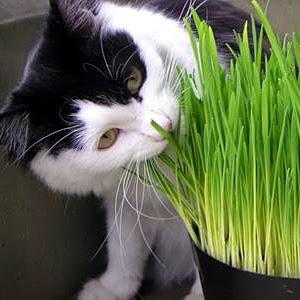 Mengapa Kucing Persia Anggora Memakan Rumput?