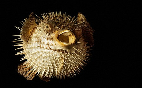 Puffer fish the life of animals for How much is a puffer fish