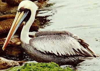 Foto del Pelícano en el agua