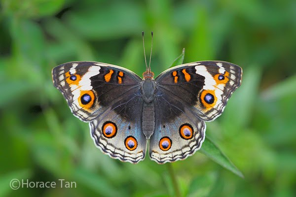 Physical Description of Adult Butterfly: Above, the forewing for the male is ...