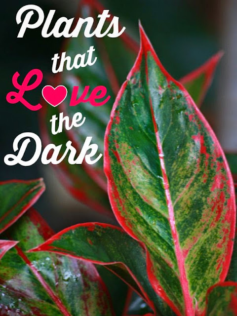 Indoor Plants That Love The Dark Container Gardening My