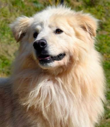 adozione cane taglia medio grande pastore maremmano pastore svizzero
