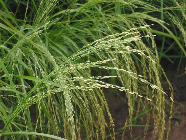 Tef (Eragrostis tef)