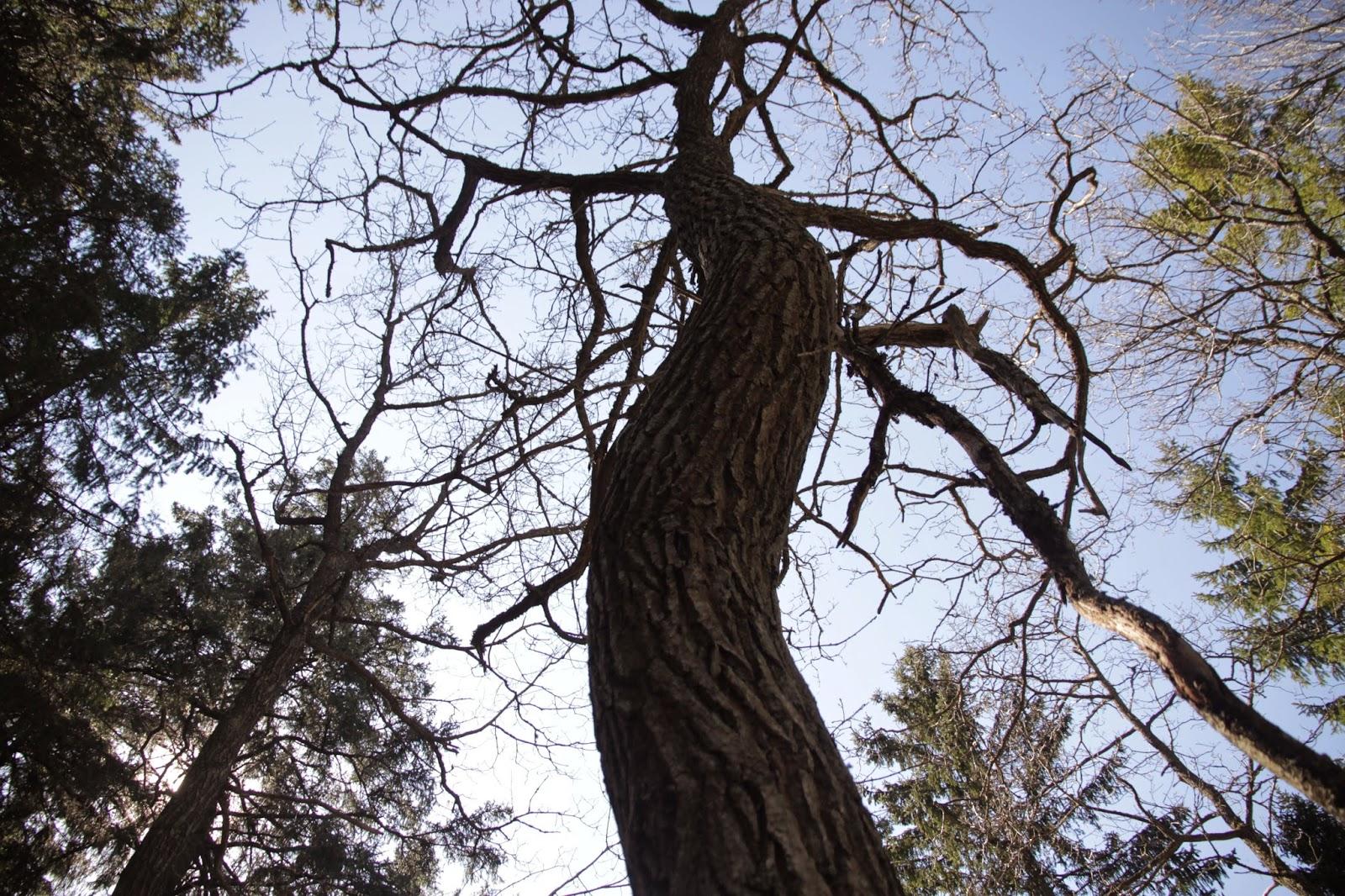 Tädu_puu