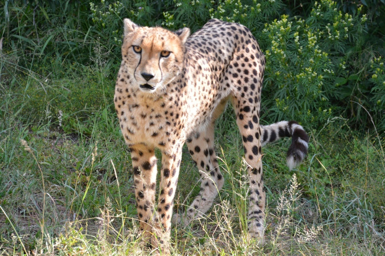 King Cheetah Pictures Of The Rarest Big Cat in The Pictures of king cheetahs