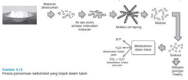 Proses pencernaan karbohidrat dalam tubuh