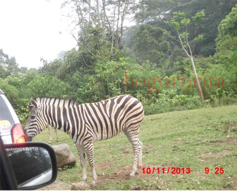 Hanya Di Taman Safari Melihat Binatang Seperti Dihabitat Aslinya