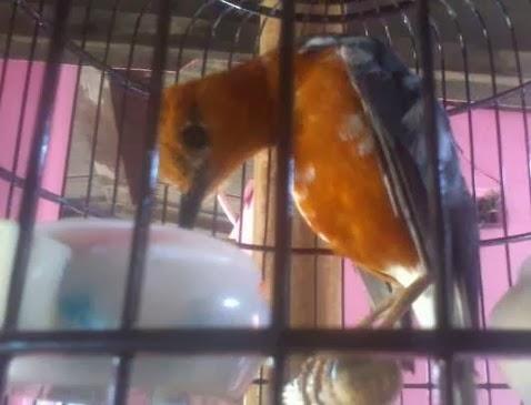 Tips Merawat Burung Anis Merah yang Over Birahi