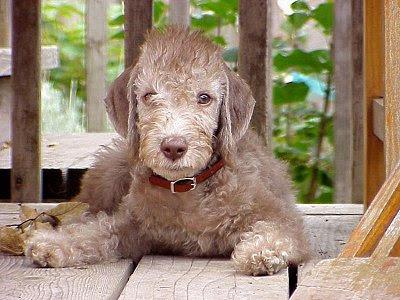 Bedlington Terrier Grooming Tips And Guide Bullcatdog