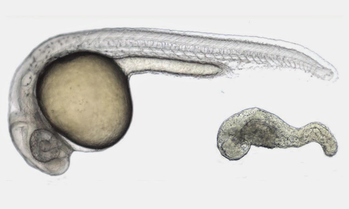 zebrafish embryo stem cells