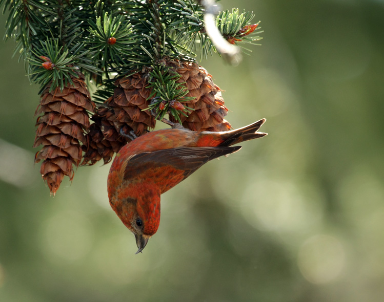 male Red Crossbill hanging upside-down from Douglas-fir cones