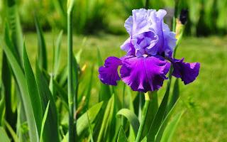 Iris con morado y lila