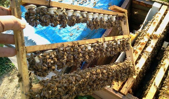 ana arı nasıl üretilir?