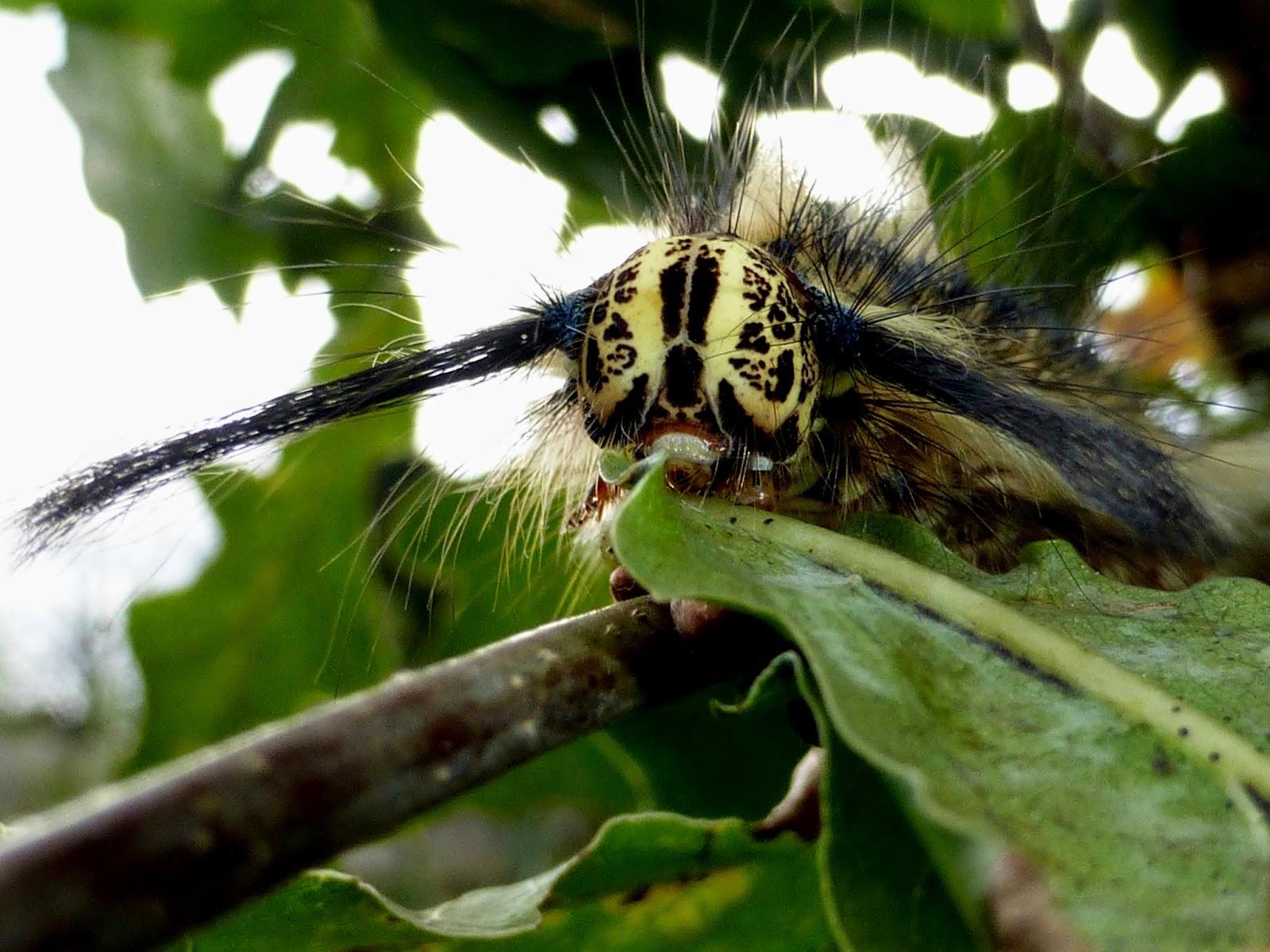 Trabala vishnou guttata caterpillar