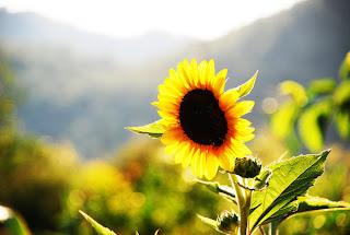 Bunga Pagi Hari