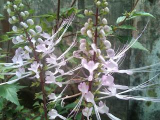 kumis kucing tanaman herbal