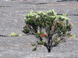 a tree in Hawaii