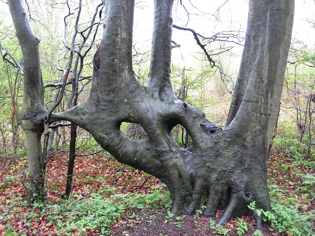 Beech, Fagus sylvatica, with fused trunks.  Lilly's Wood, 28 April 2012.