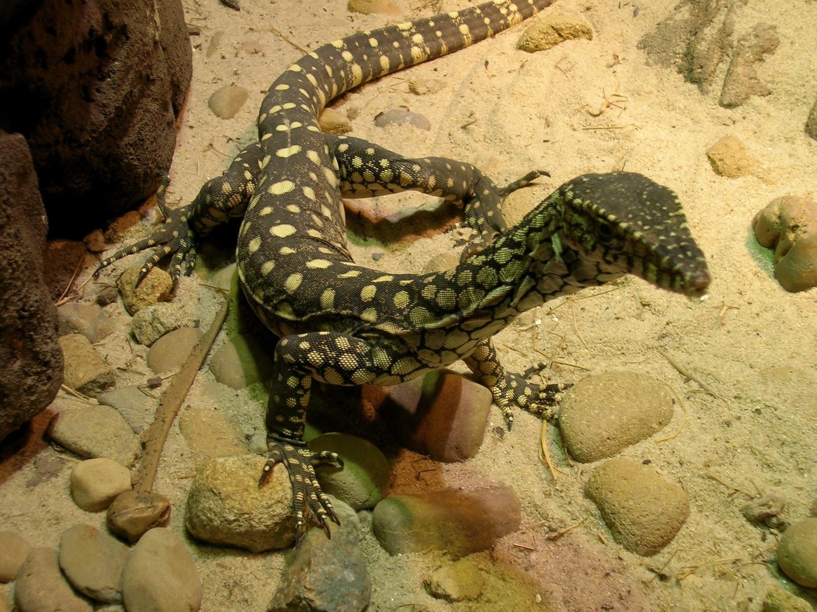 Monitor Lizard   Wild Life Animal