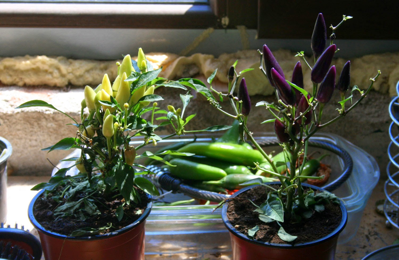 Yellow and Purple chili plants