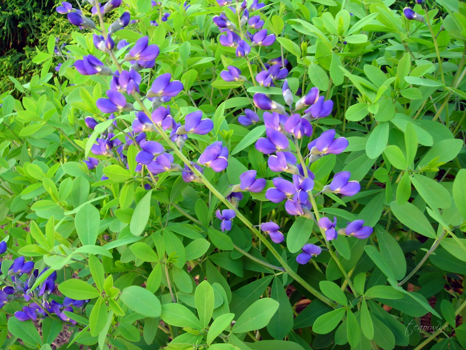 Teaorwine Blue False Indigo