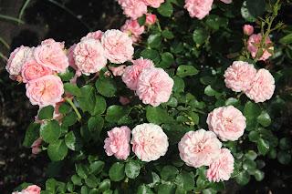 розовый куст фото