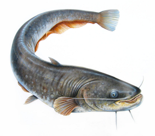 Jenis-jenis Ikan Lele yang Dibudidayakan di Indonesia