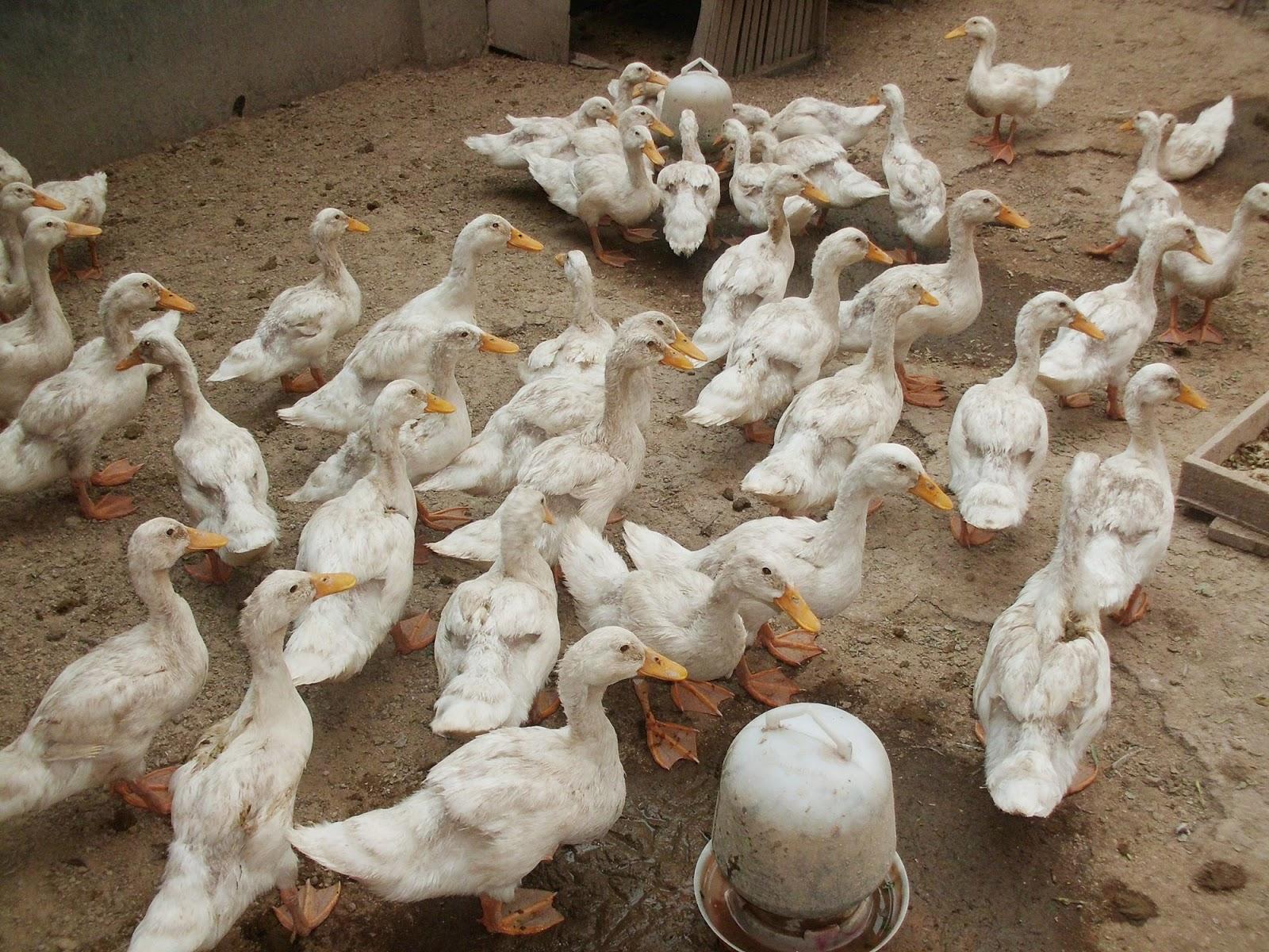 Keunggulan Lain Dari Bebek Peking Ini Adalah Selain Penghasil Pedaging Juga Dapat Menghasilakn Telur Yang Jumlah Produksinya Lebih Banyak Pada