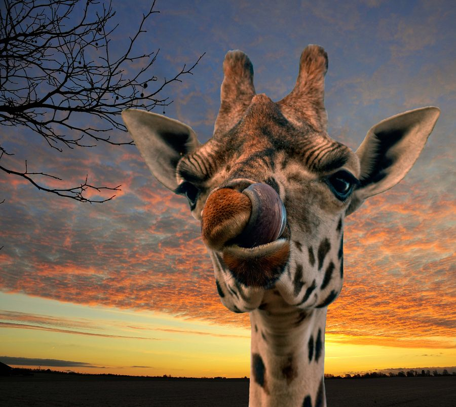 5. Giraffe licking nose by Stephen Wilson