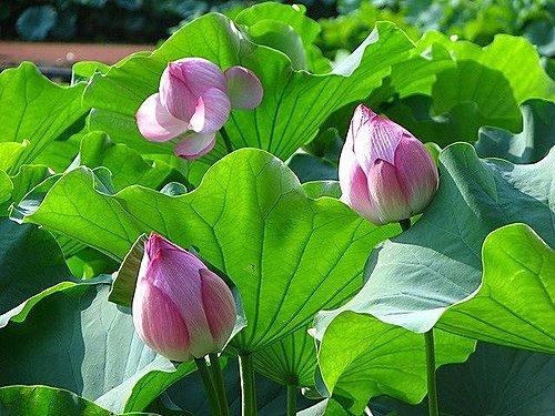 Hoa sen trong phong thủy