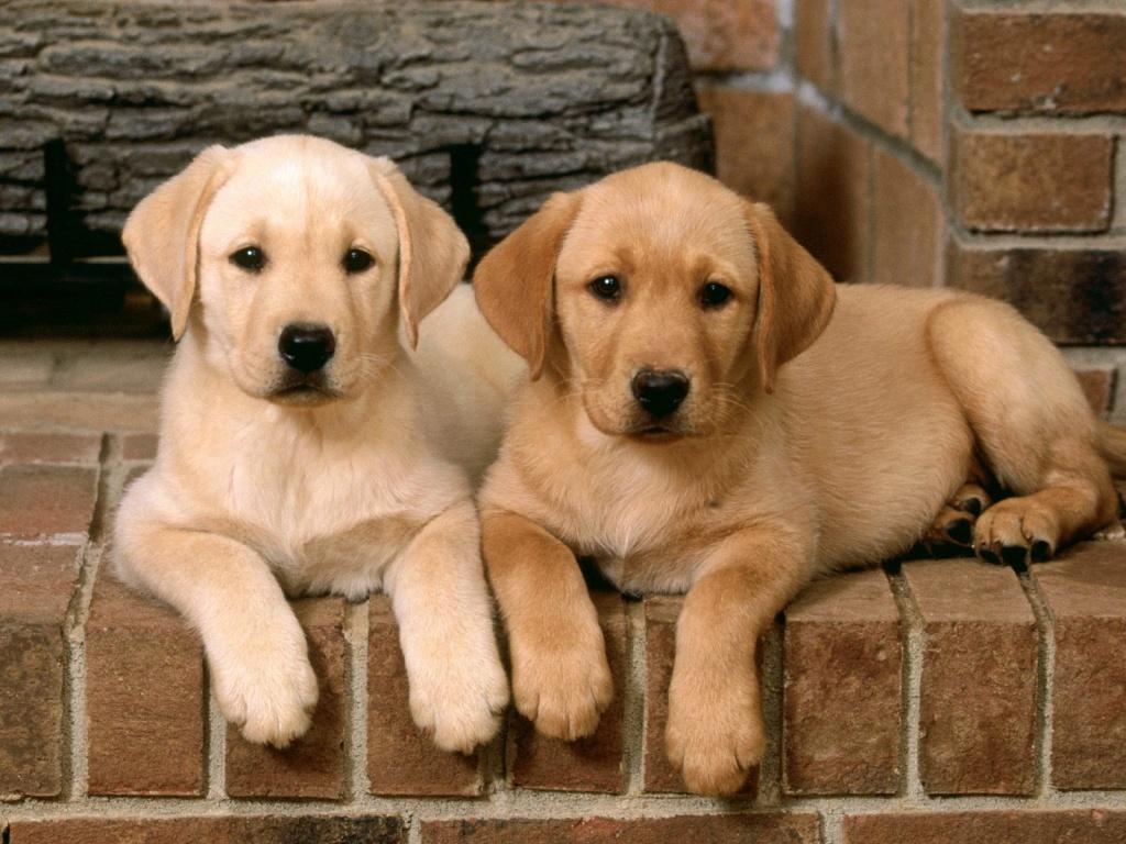 Cute Dogs: Golden Labrador Retrievers for Cute Lab Dog Puppy  585ifm