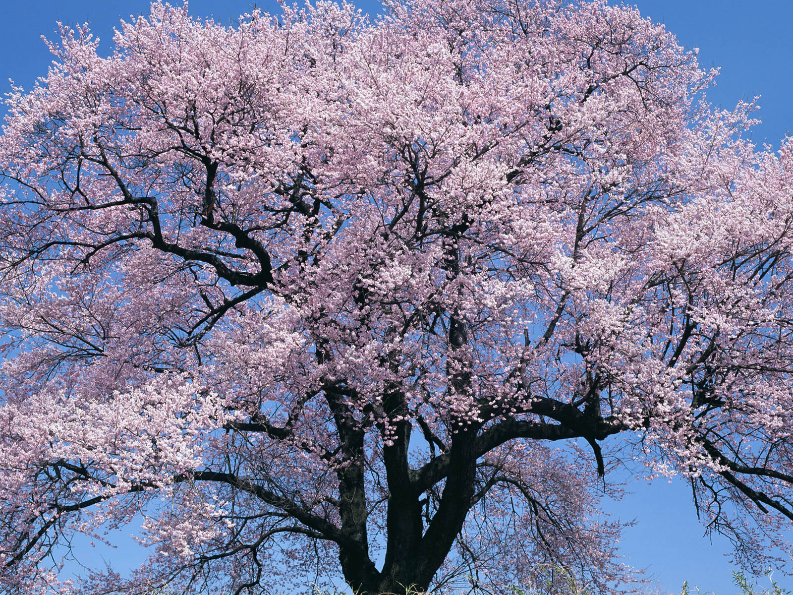 Wallpapers cherry tree Japanese cherry blossom tree