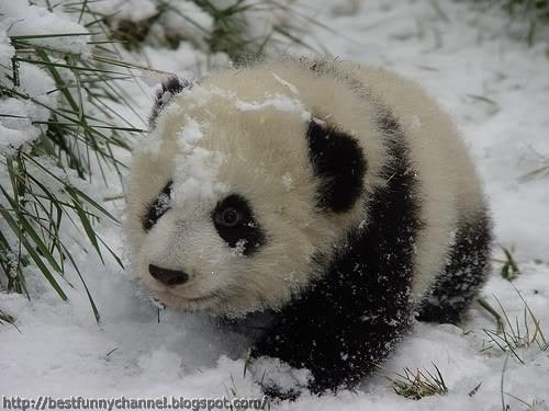 Cute panda baby.