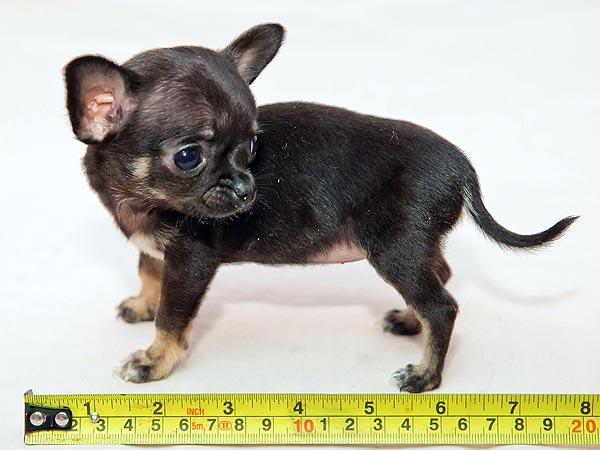 самая маленькая собака фотки