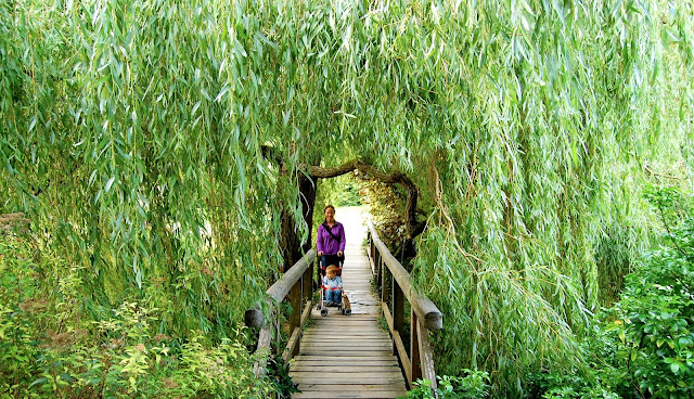 Willow tree branches with bridge in Bishop's Palace, Wells, England
